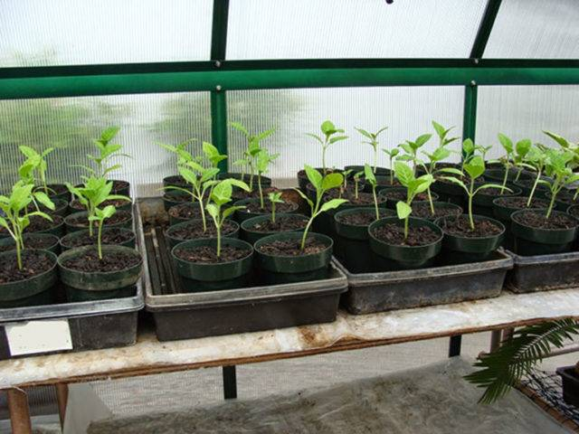Бругмансия: выращивание из семян