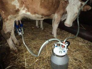 Как доить корову доильным аппаратом: подготовка и правила доения