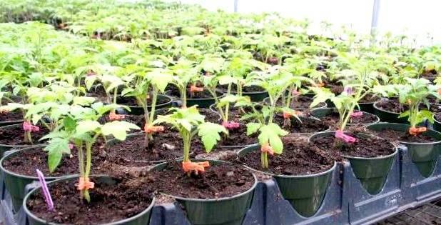 Подкормка томатов дрожжами в открытом грунте