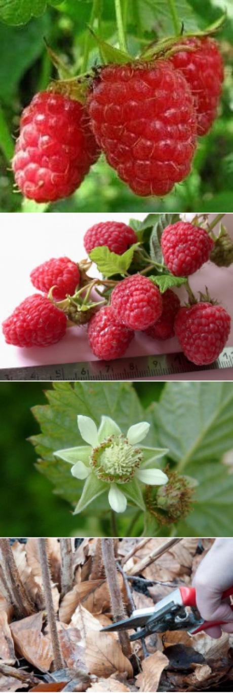 Малина бриллиантовая: ремонтантный сорт, дающий ягоды до морозов