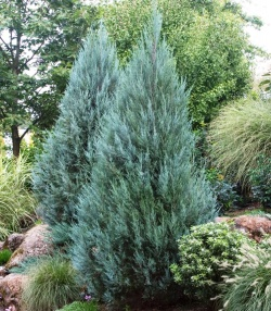 Можжевельник «голд стар»: описание и выращивание