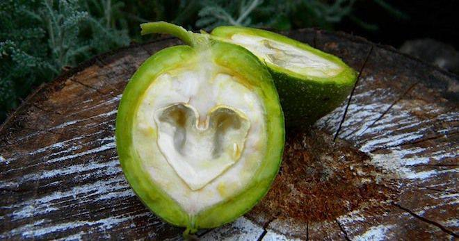 Рецепты народной медицины из зелёного грецкого ореха
