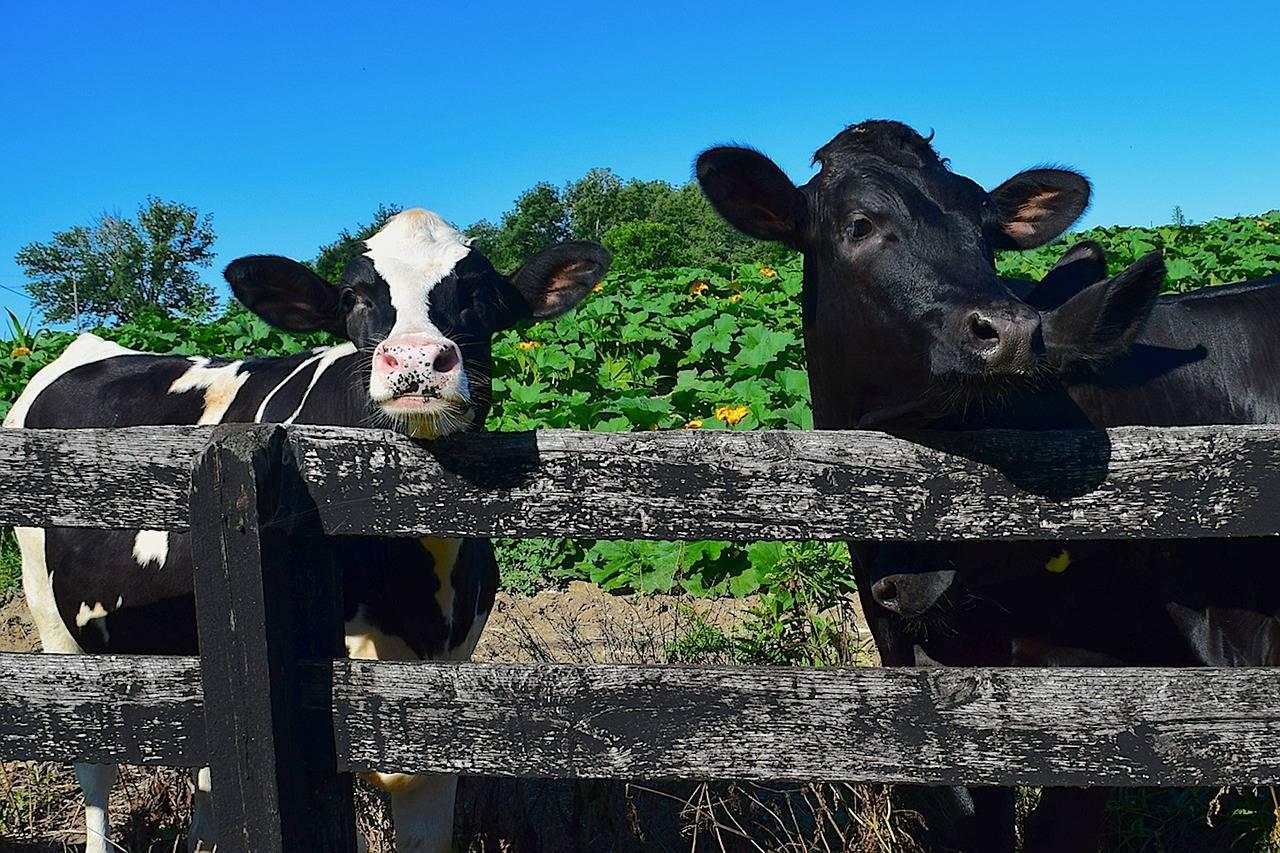 Почему коза и козлята едят землю - основные причины и болезни