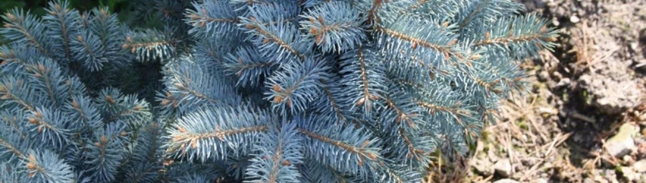 Голубые ели: описание, посадка и уход, размножение