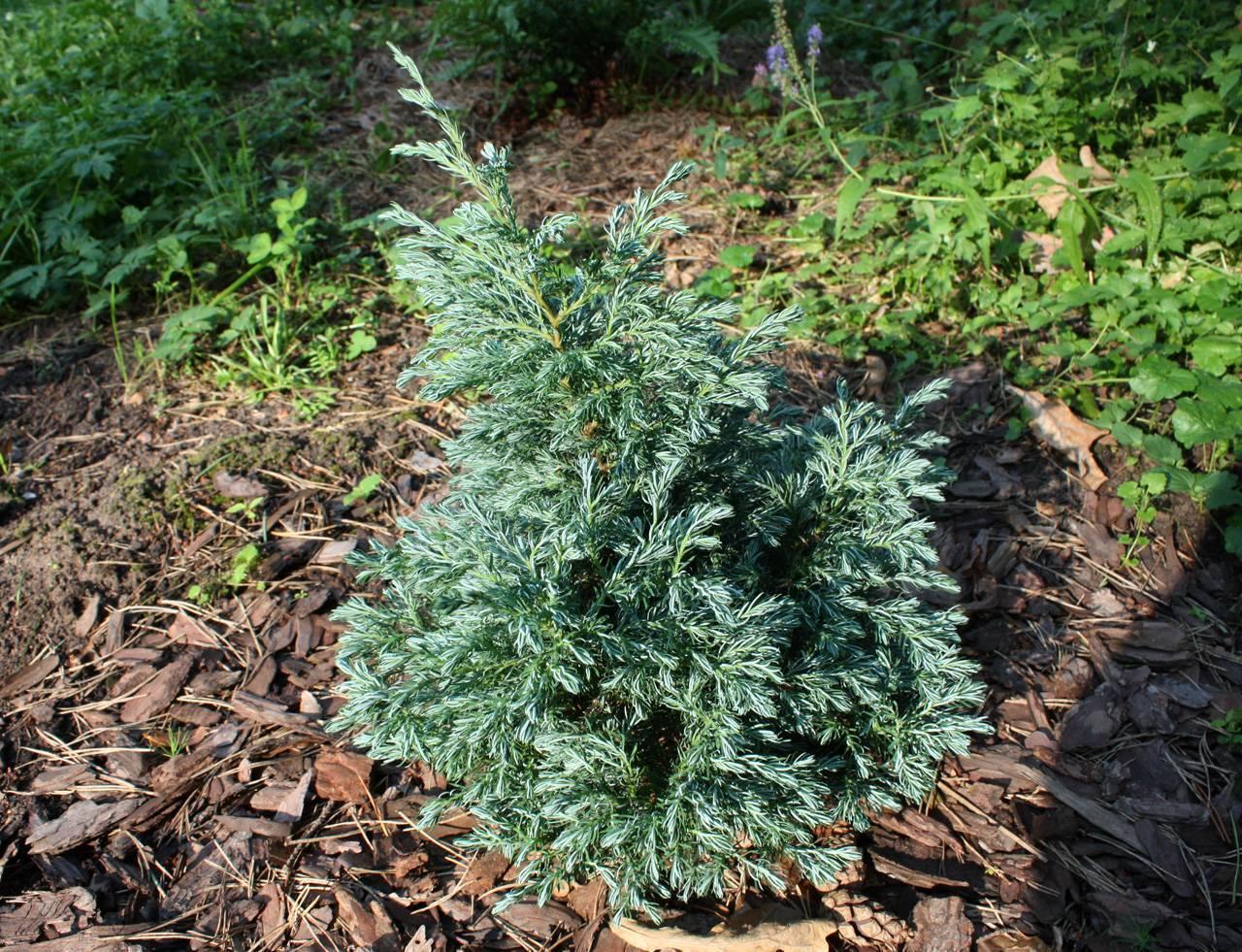 Кипарисовик горохоплодный (chamaecyparis pisifera)
