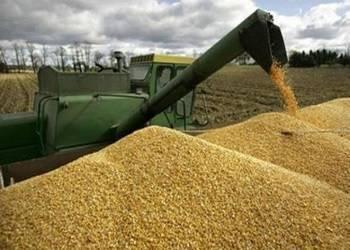 Выращивание и обработка кукурузы на зерно