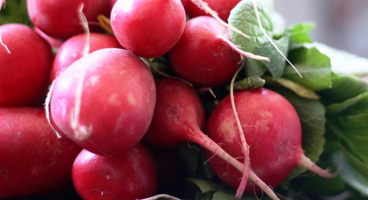 Редис рудольф f1: отзывы, фото, урожайность, как и когда сажать, выращивание