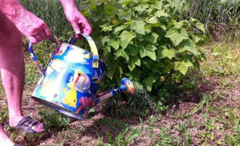 Как и когда поливать кипятком смородину весной. дедовские способы ухода за смородиной весной.   красивый дом и сад
