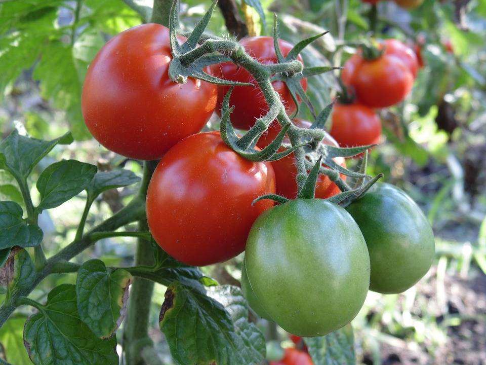 Как правильно подкармливать томаты?