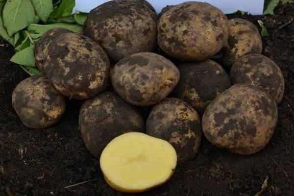 Картофель сантэ: описание и характеристика, отзывы