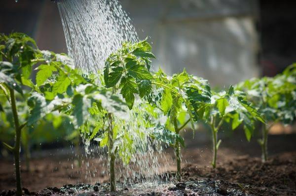 Полив рассады томатов: как часто орошать водой семена после посева, а также увлажнение помидоров в домашних, тепличных условиях и в грунте