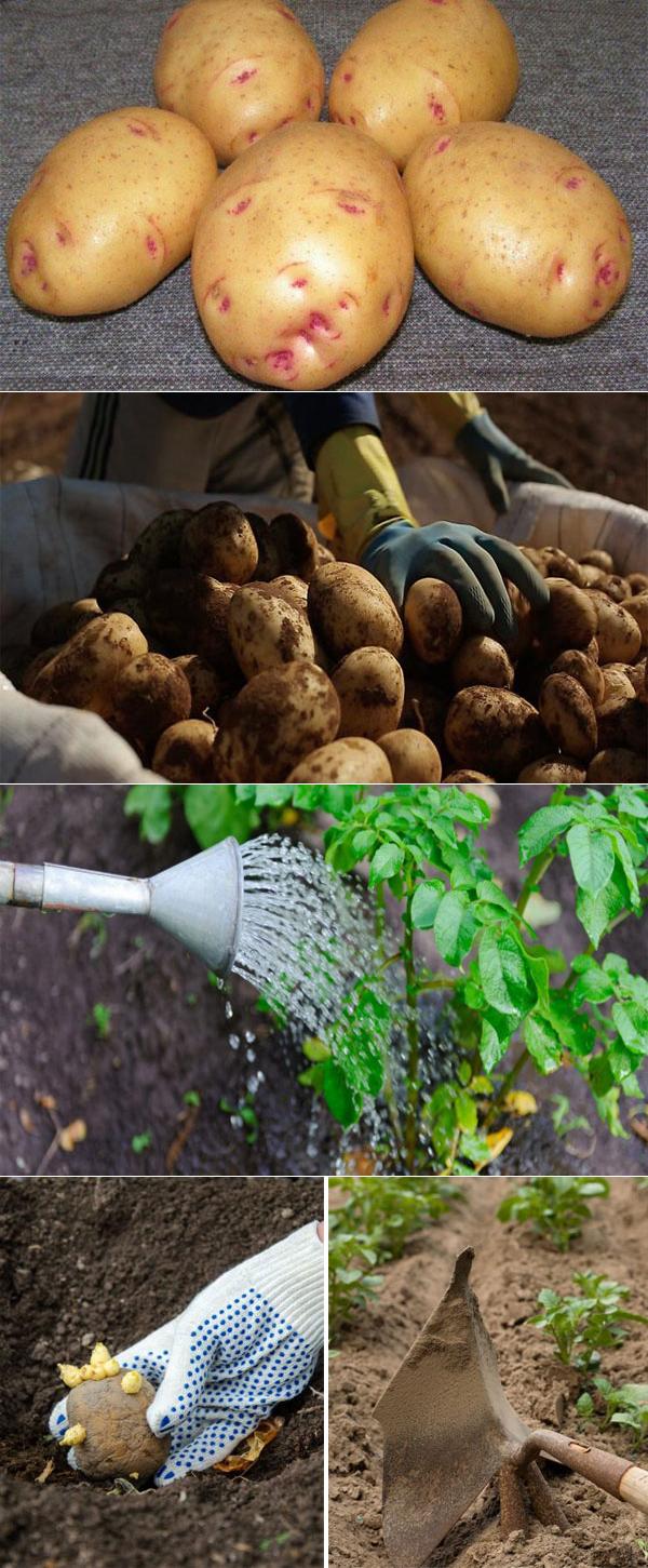 Описание картофеля сорта барин
