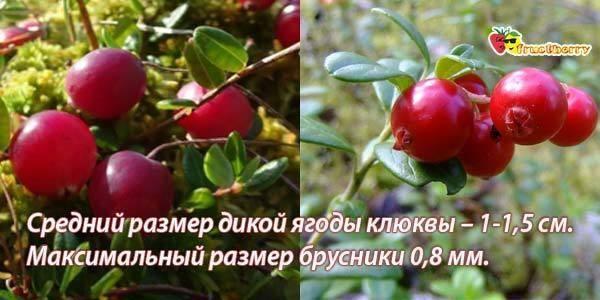Чем отличается брусника от клюквы — ягоды грибы