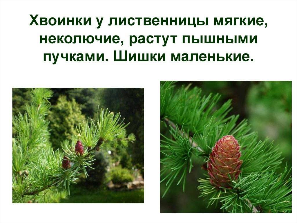 Хвойные деревья с опадающей на зиму хвоей. какое дерево сбрасывает хвою на зиму? дерево которое сбрасывает хвою на зиму