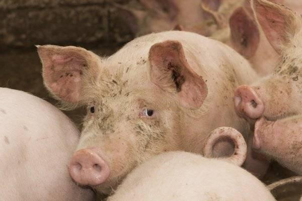 Цистицеркоз крупного рогатого скота: что за болезнь и как с ней бороться