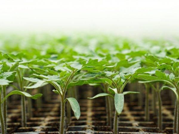 Помидоры «мишка косолапый»: описание, агротехника выращивания