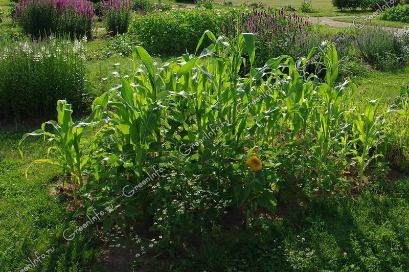 Земляничная кукуруза: посадка и уход