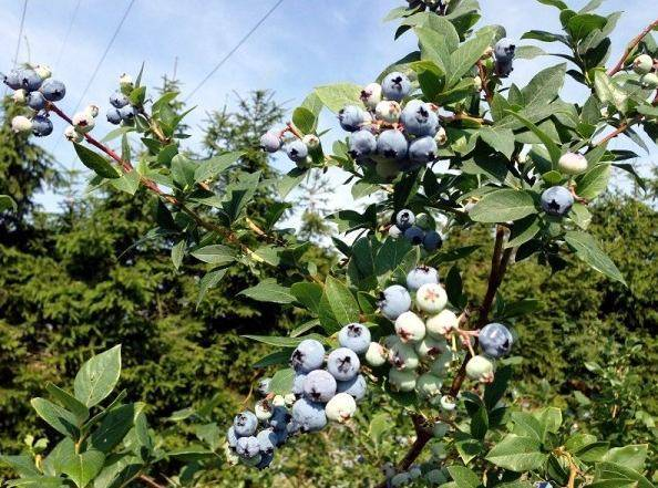 Голубика патриот: выращивание, полезные свойства и противопоказания