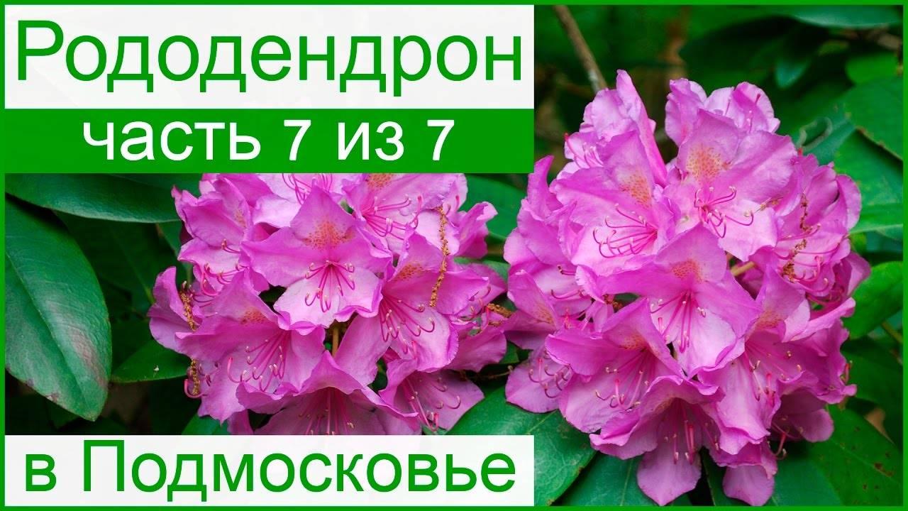 Рододендроны в саду: выращивание и уход