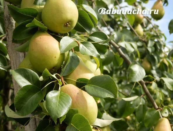 Гниют плоды груши на дереве: что делать