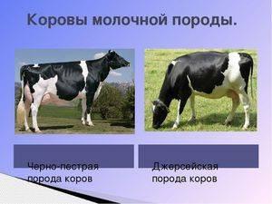 Самая распространенная на территории россии порода коров — «чёрная пёстрая»