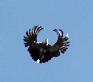 Серпастые голуби в волгоградской области голубятник артюк