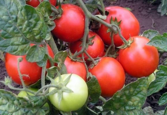"""Томат """"желтая шапочка"""", а также """"оранжевая"""" : выращивание и уход, подробное описание сорта"""