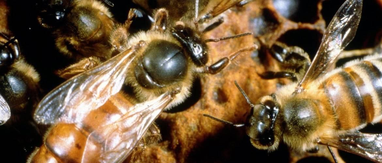 Всё что нужно знать о пчелином расплоде