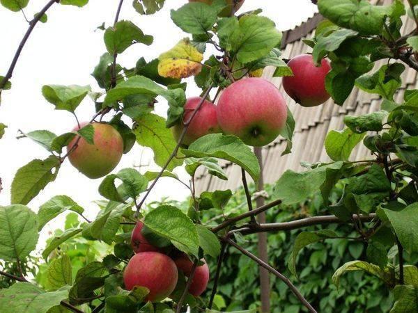 Секреты успешного выращивания яблони краса свердловска