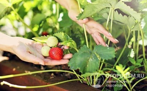 Клубника вима занта — описание сорта, фото и отзывы садоводов