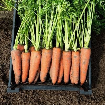 Лучшие сорта моркови для зимнего хранения