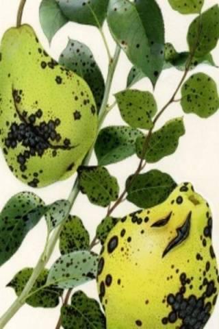 Описание и характеристики груши сорта форель, выращивание, посадка и уход