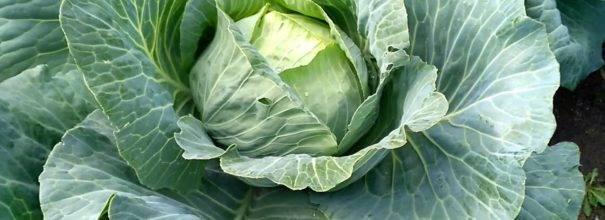 Капуста агрессор: описание, тонкости выращивания, реальные отзывы
