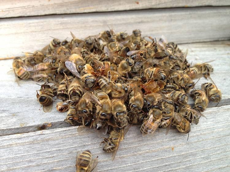 Целебная сила пчелиного подмора для мужского здоровья