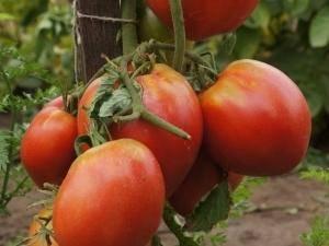 Характеристика помидор «пудовик» или «севрюга»