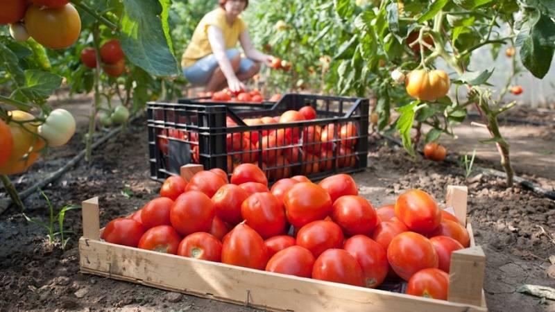 Помидоры «красным-красно f1»: описание, агротехника выращивания