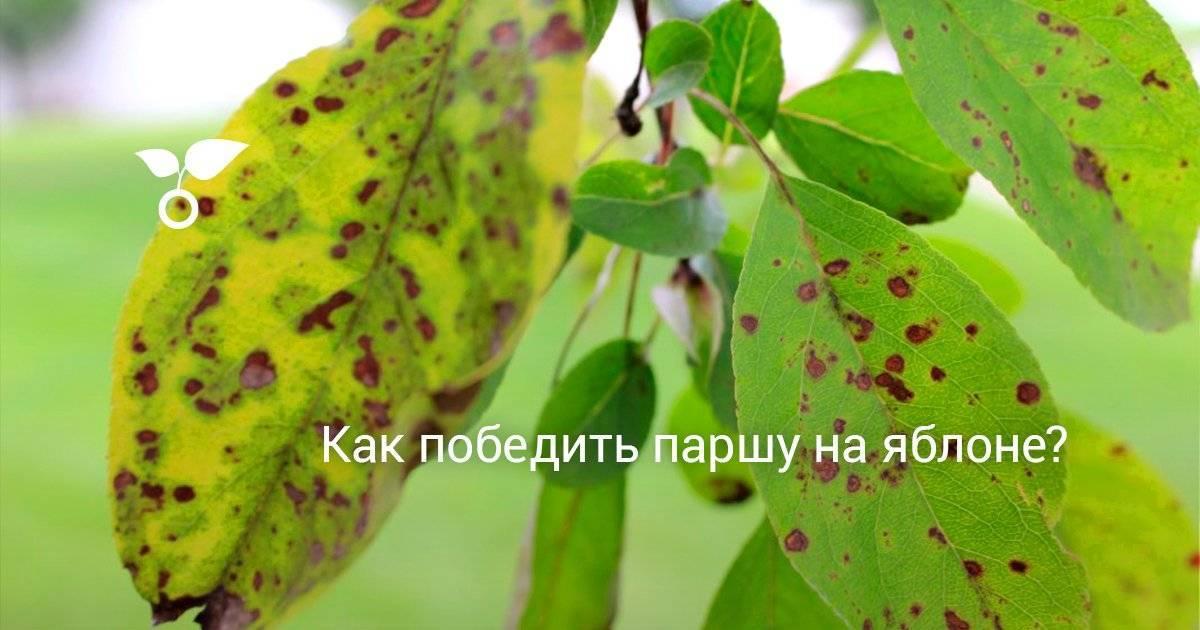 Обработка яблони от парши весной, летом и осенью