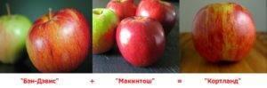 Описание сорта яблони кортланд и ее характеристики, история выведения и урожайность