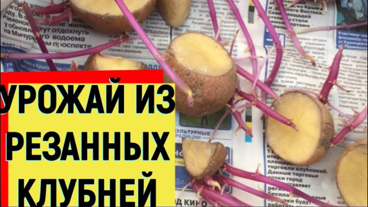 Описание сортовой картошки наташа — особенности выращивания культуры
