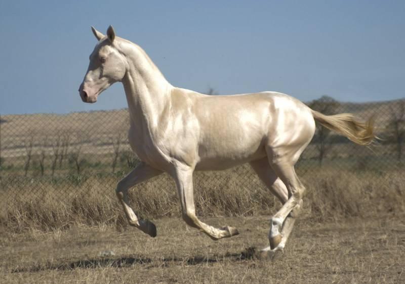 Ахалтекинская лошадь  фото, описание, ареал, питание, враги