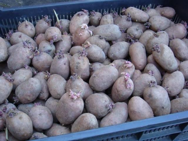 Картофель колетте —гость из германии на наших дачах