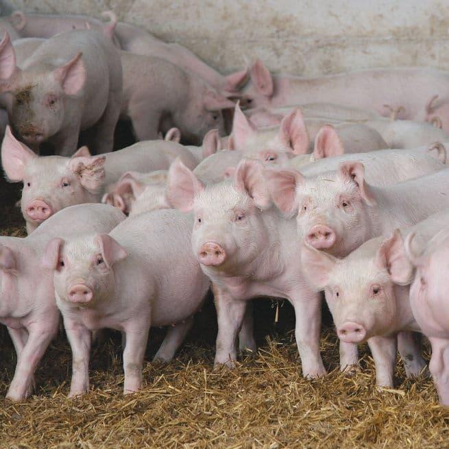 Разведение свиней. породы свиней. свиноводство как бизнес
