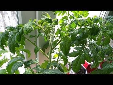 Народные средства для подкормки помидоров в открытом грунте и теплице