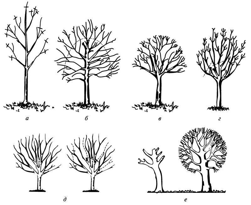 Обрезка шелковицы: способы, правила и  полезные советы