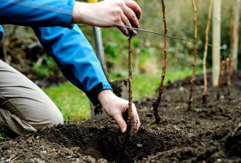 Правильная технология посадки малины: советы опытных дачников