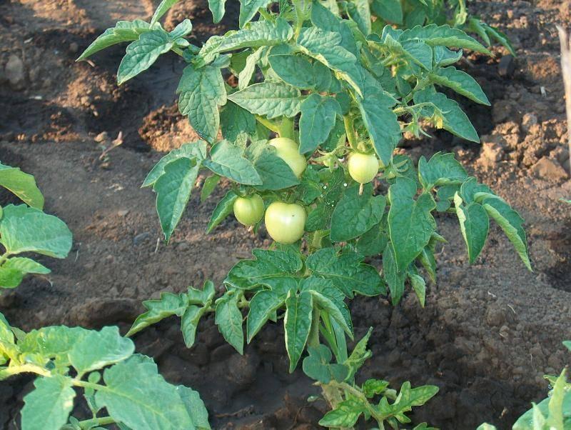 Описание и урожайность сорта томата данко