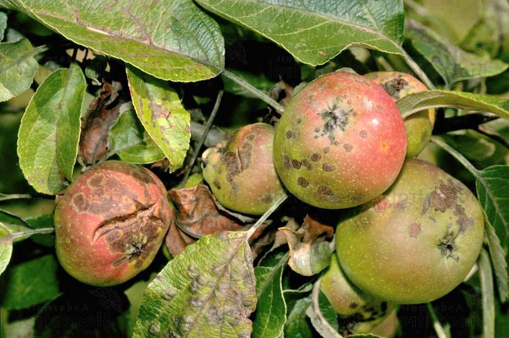 Как победить паршу на яблоне?
