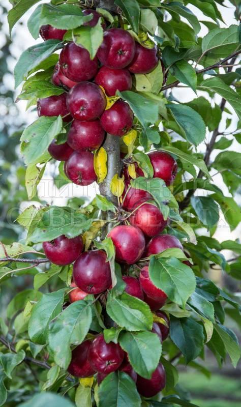 Правила посадки и выращивания яблони китайки