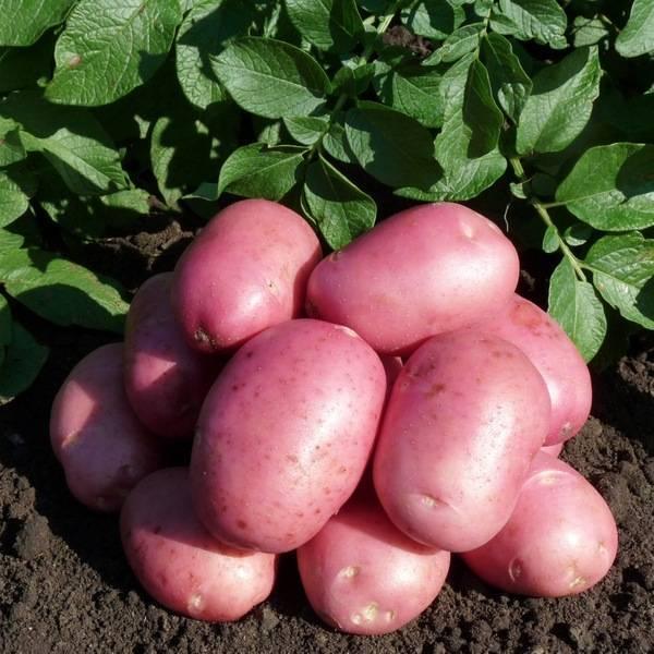 Сорт картофеля «лабелла»: характеристика, описание, урожайность, отзывы и фото