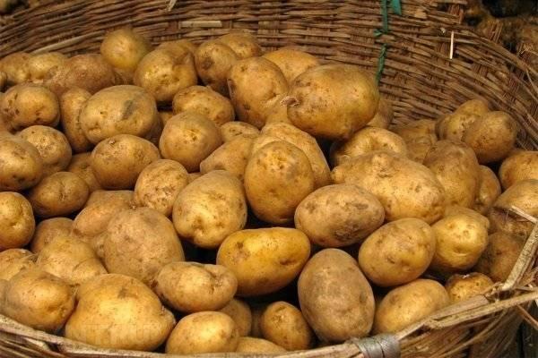 Сорт картофеля адретта - описание вида, уход и другие важные аспекты + фото
